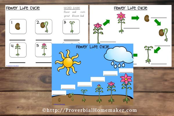 Flower Life Cycle 2