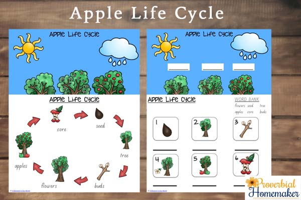 The apple life cycle pages inspire learning about how apple trees grow ...