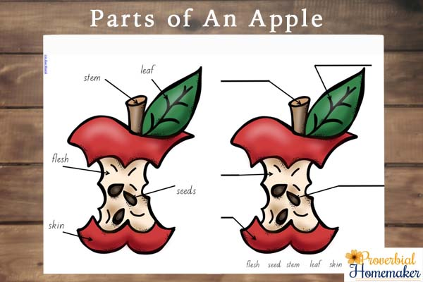 Satisfactory image pertaining to parts of an apple printable