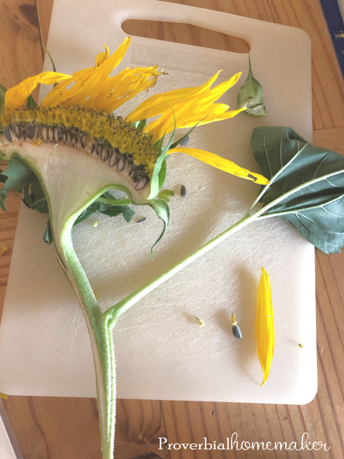 Try this fun and easy sunflower nature study in your homeschool! Plus some tips for simple nature study and nature journaling.